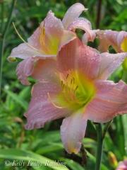 daylilies-Kelly-Leahy-Radding