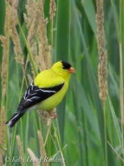 american-goldfinch-Kelly-Leahy-Radding