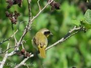 common-yellowthroat-Kelly-Leahy-Radding
