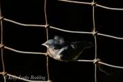 fledgling-barn-swallow-Kelly-Leahy-Radding