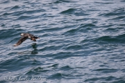 flying-atlantic-puffin-Kelly-Leahy-Radding