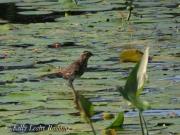louisiana-waterthrush-Kelly-Leahy-Radding