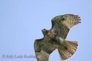 red-tail-hawk-Kelly-Leahy-Radding