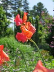 sweet-peas-coastal-maine-botanical-gardens-Kelly-Leahy-Radding