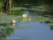waterlilies-Kelly-Leahy-Radding
