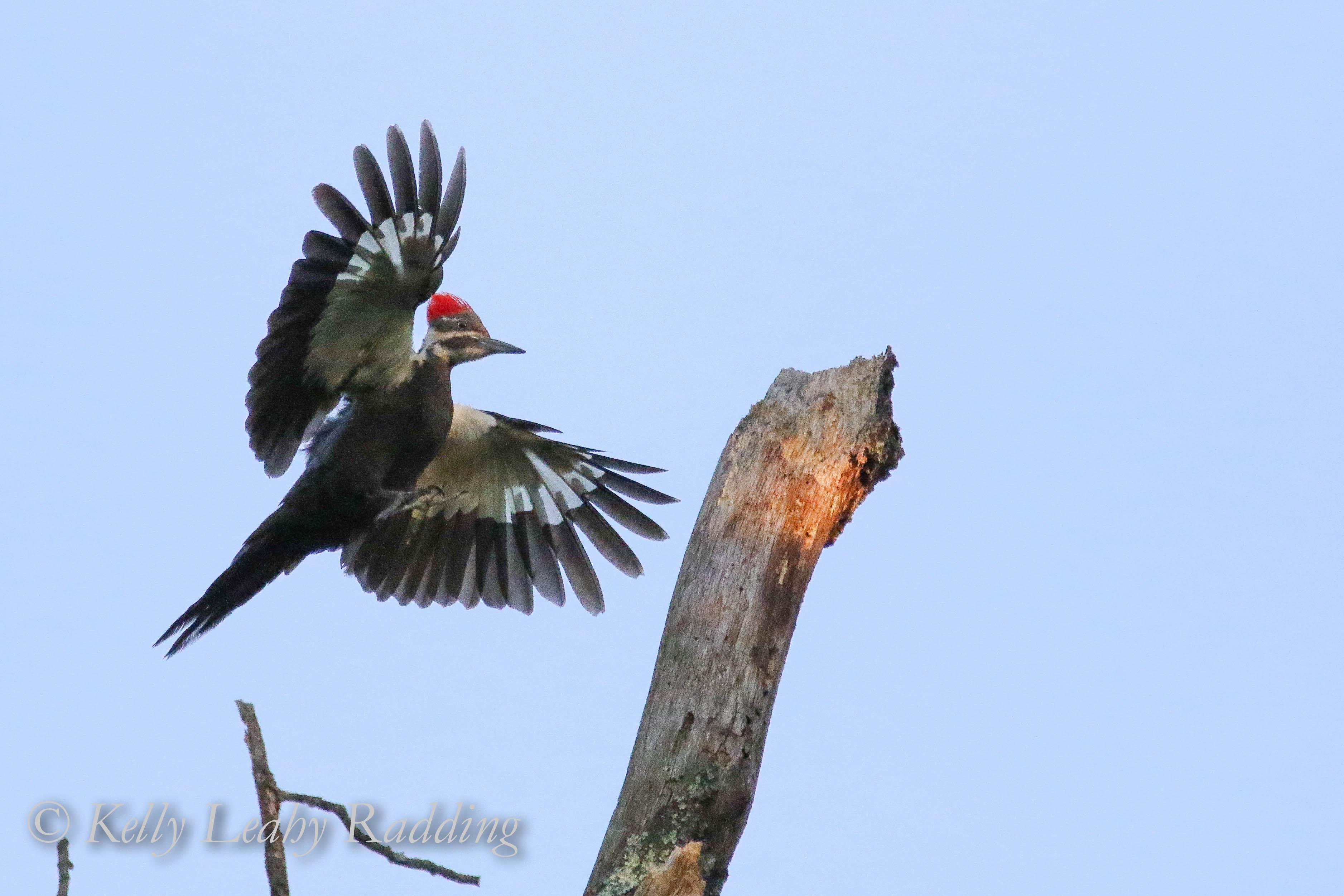 pileated woodpecker, Kelly Leahy Radding
