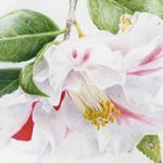 Detail of Camellia japonica  'Lady Vansittart'