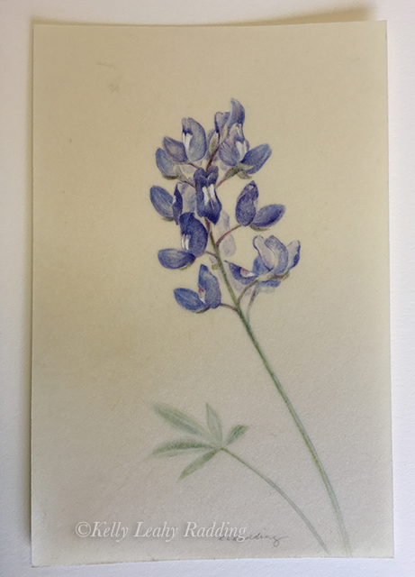 Kelly Leahy Radding, texas bluebonnet, texas wildflower