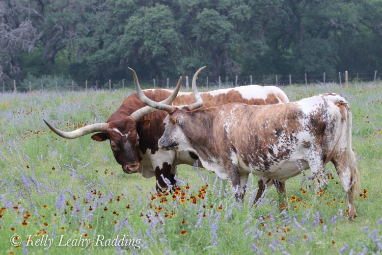 texas, longhorn, cattle