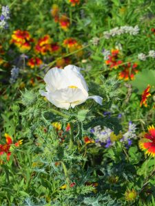 texas, wildflowers, prickly pear poppy, poppy