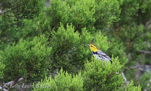 The endangered golden -cheeked warbler, warbler, Texas bird, bird