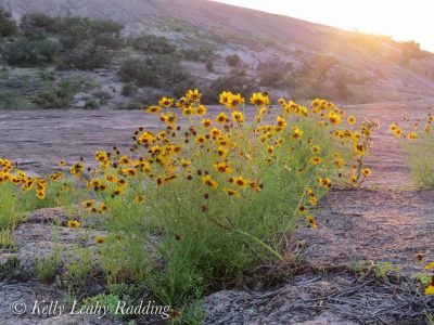 Enchanted Rock, wildflowers, golden-wave coreopsis