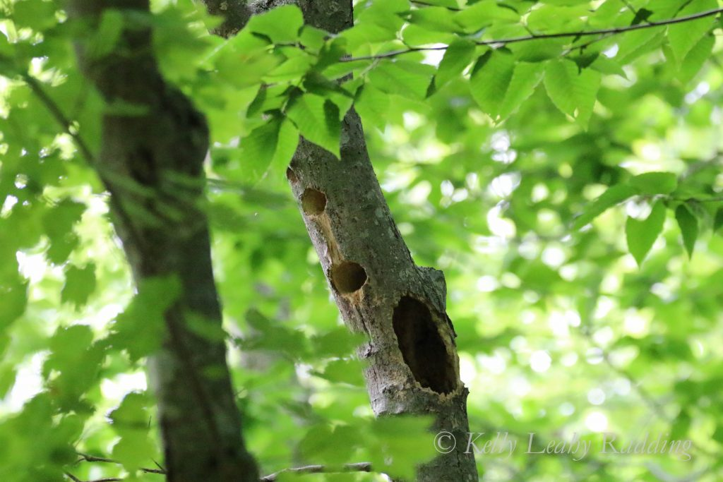 Tree with woodpecker holes, Oswegatchie, Kelly Leahy Radding