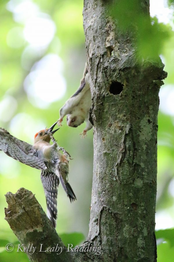 flying squirrel attacking red-bellied woodpecker, Oswegatchie, Kelly Leahy Radding