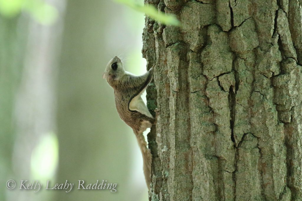 flying squirrel on tree, Oswegatchie, Kelly Leahy Radding