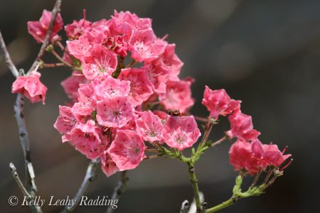 mountain laurel, dark pink