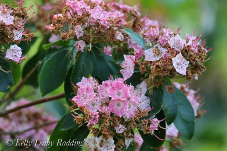 mountain laurel light pink
