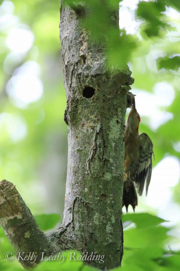 red-bellied woodpecker attacks flying squirrel, Kelly Leahy Radding