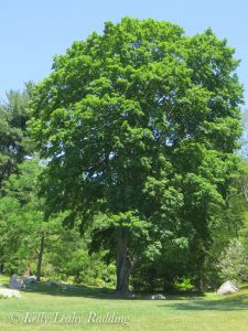 The Sugar Maple