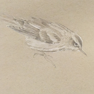 Black & white warbler, drawing, Kelly Leahy Radding