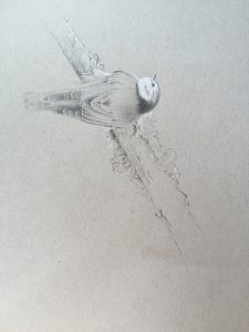 white-breasted nuthatch, drawing, Kelly Leahy Radding