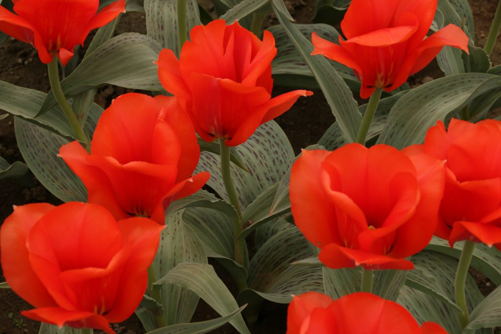 Designing Websites and Tulipmania