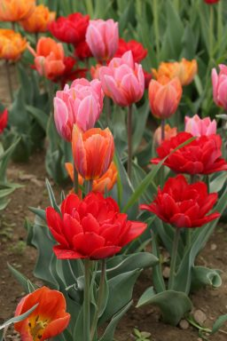 tulips, Wicked Tulip Flower Farm