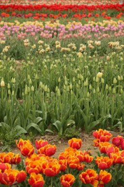 tulip-rows
