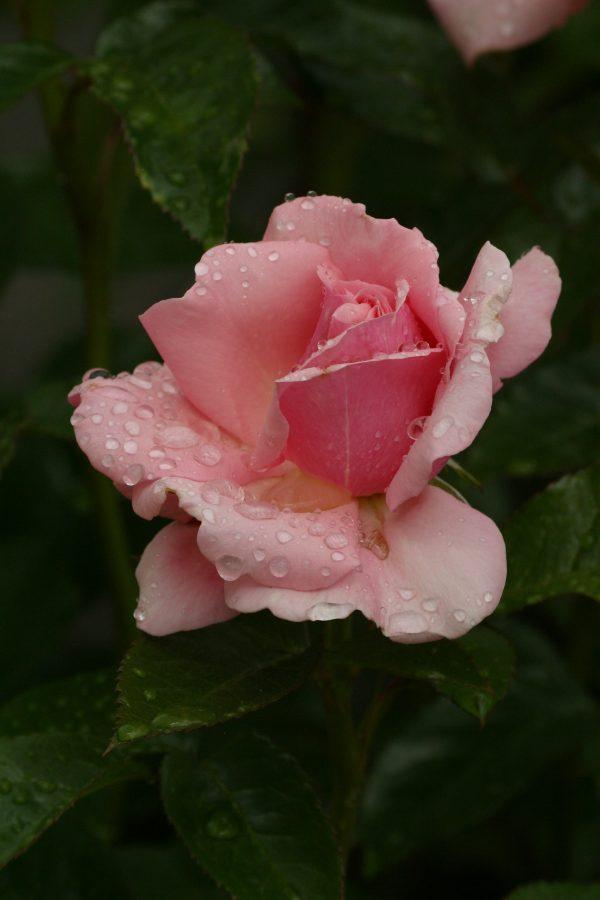 rose, rain, ireland, powers court