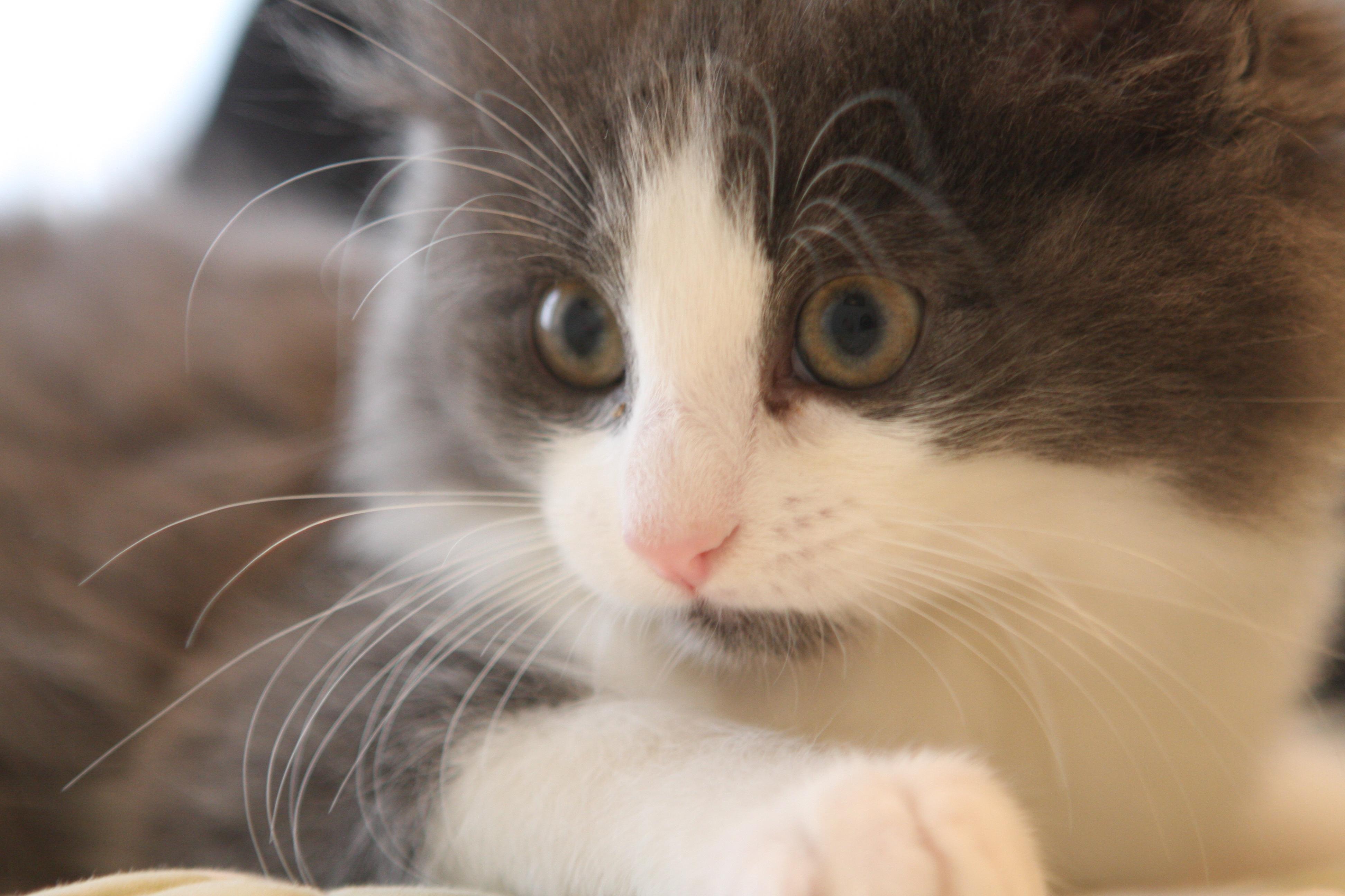kitten, cat, whiskers