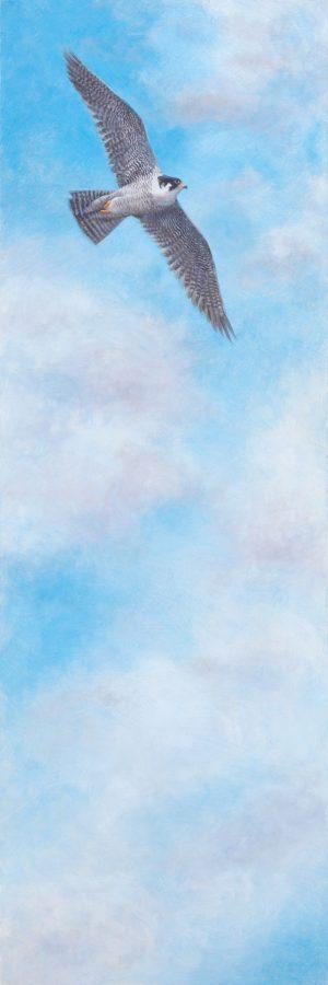 peregrine, falcon, casein, kellyleahyradding, raptor, birdofprey
