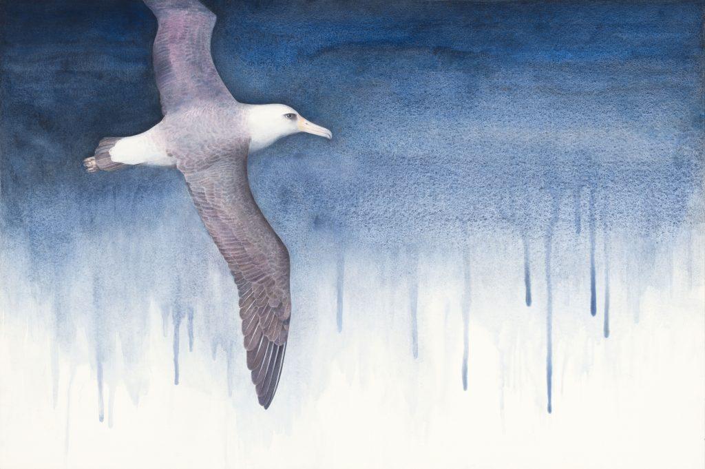Wisdom – Air, albatross, Laysan albatross, watercolor, seabird, kellyleahyradding